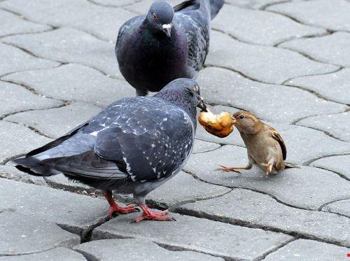گنجشک و کبوتر